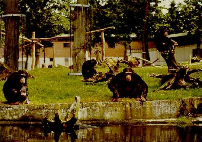 The arnhem zoo chimpanzee colony for Does homesteading still exist